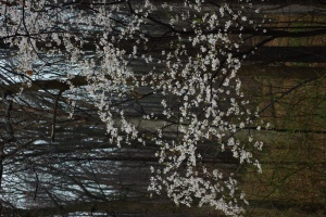 the cherry tree in the forest